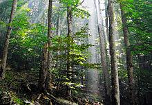 Девственные буковые леса в национальном парке. Биоградская гора в Черногории.